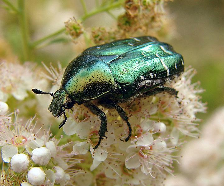 Escaravelho da espécie Cetonia aurata @ Chrumps