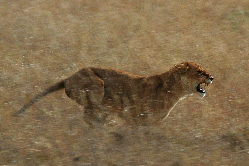 Leoa correndo no Serengeti © Schuyler Shepherd