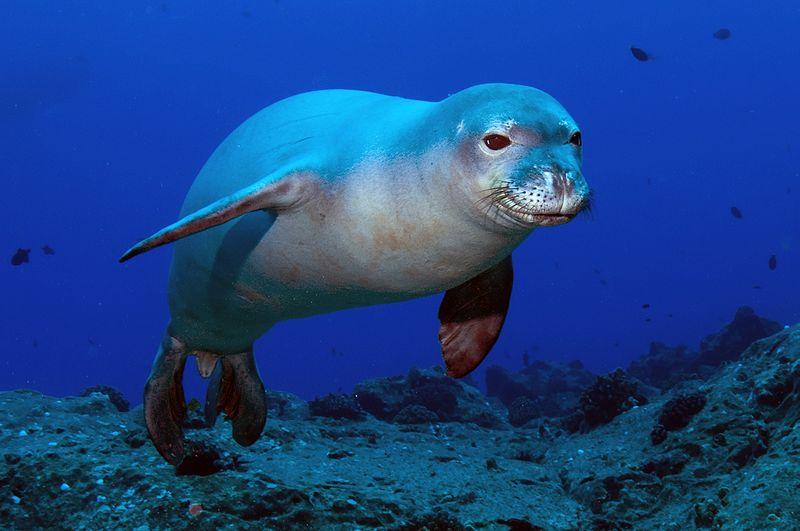 Hawaiian Monk seal (Monachus schauinslandi) © N3kt0n/Kent Backman