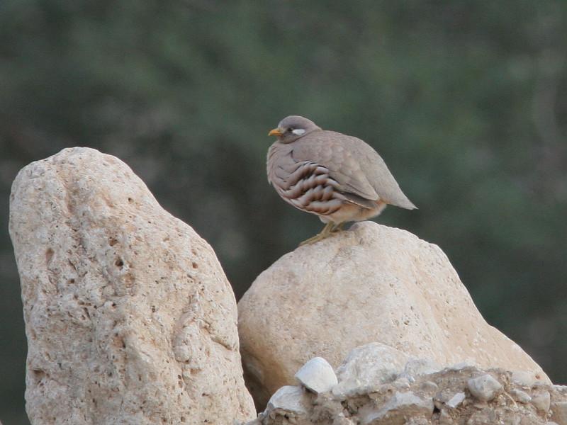 Sand Partridge (Ammoperdix heyi) © Marcel Holyoak
