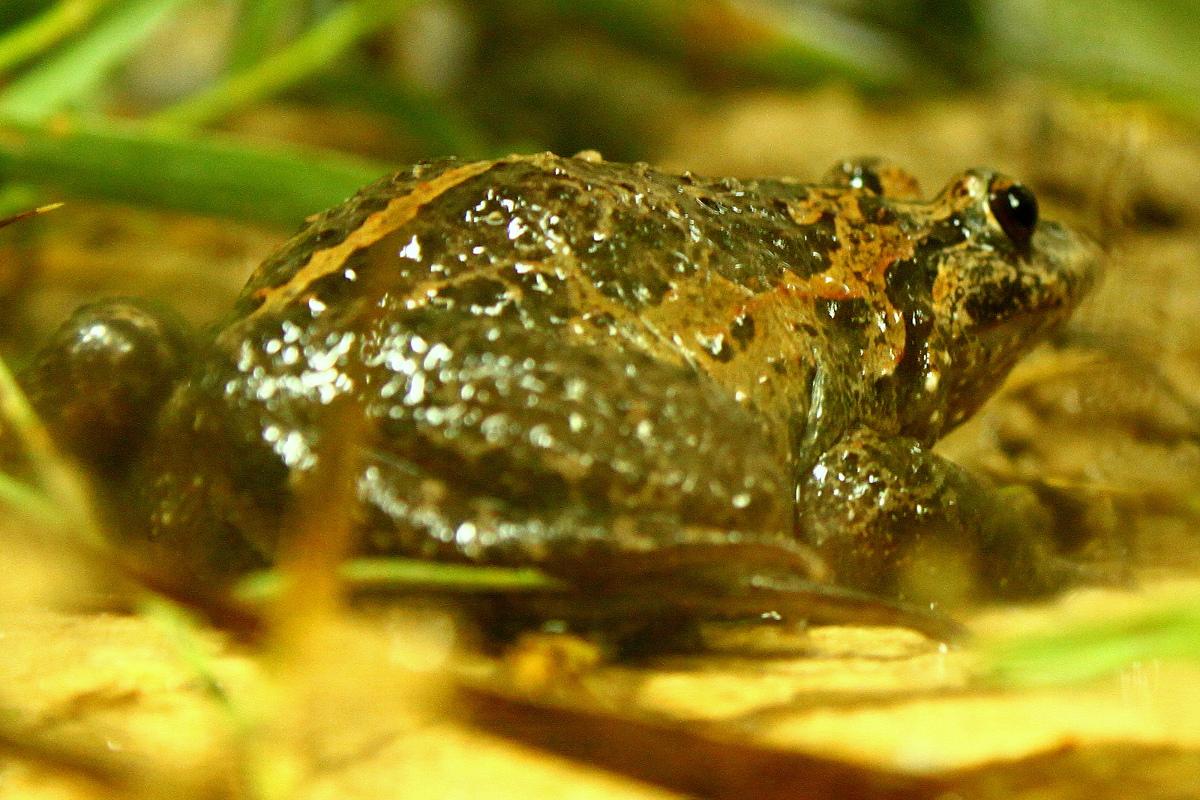 Hula Painted Frog (Discoglossus nigriventer)