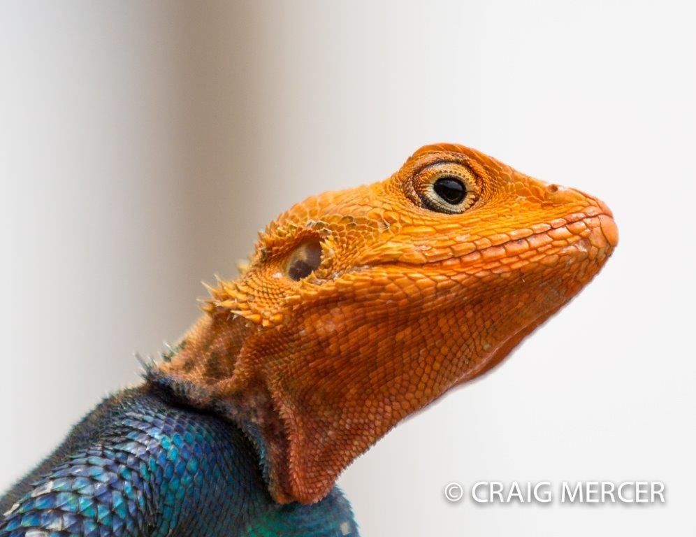 2013-05 Common Agama in Kenya by Craig Mercer