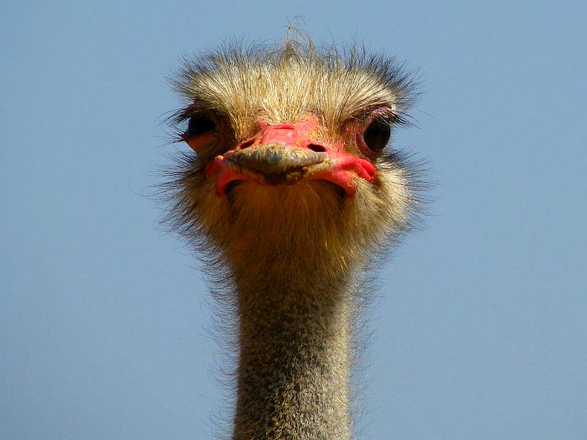 Ostrich, by Ana_Cotta