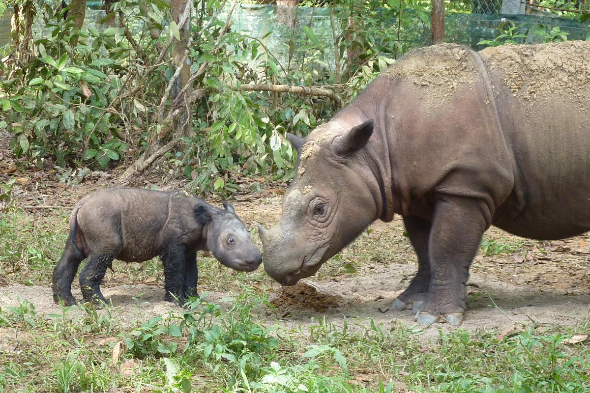 Rinocerontes de Sumatra, Ratu y Andatu © Sue Ellis, IRF