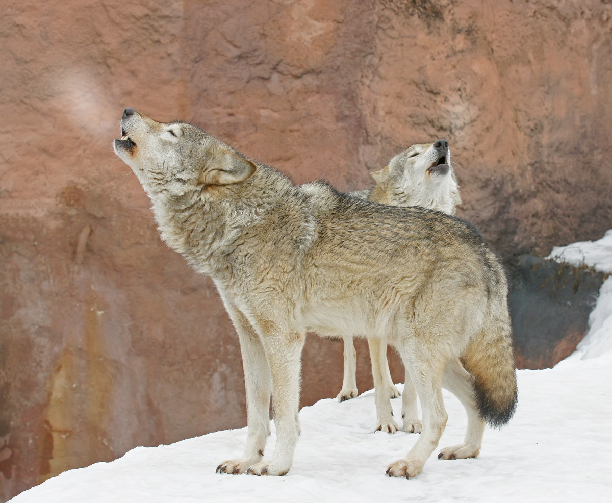 Grey Wolves, top predators