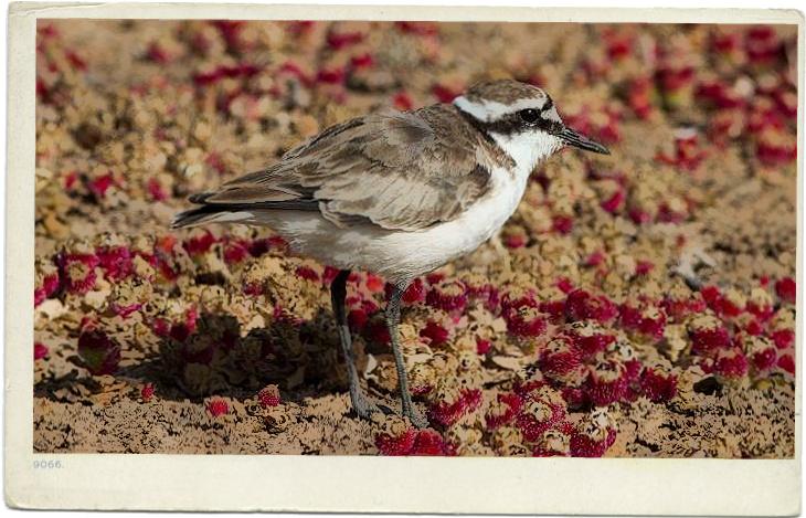 Wirebird postcard