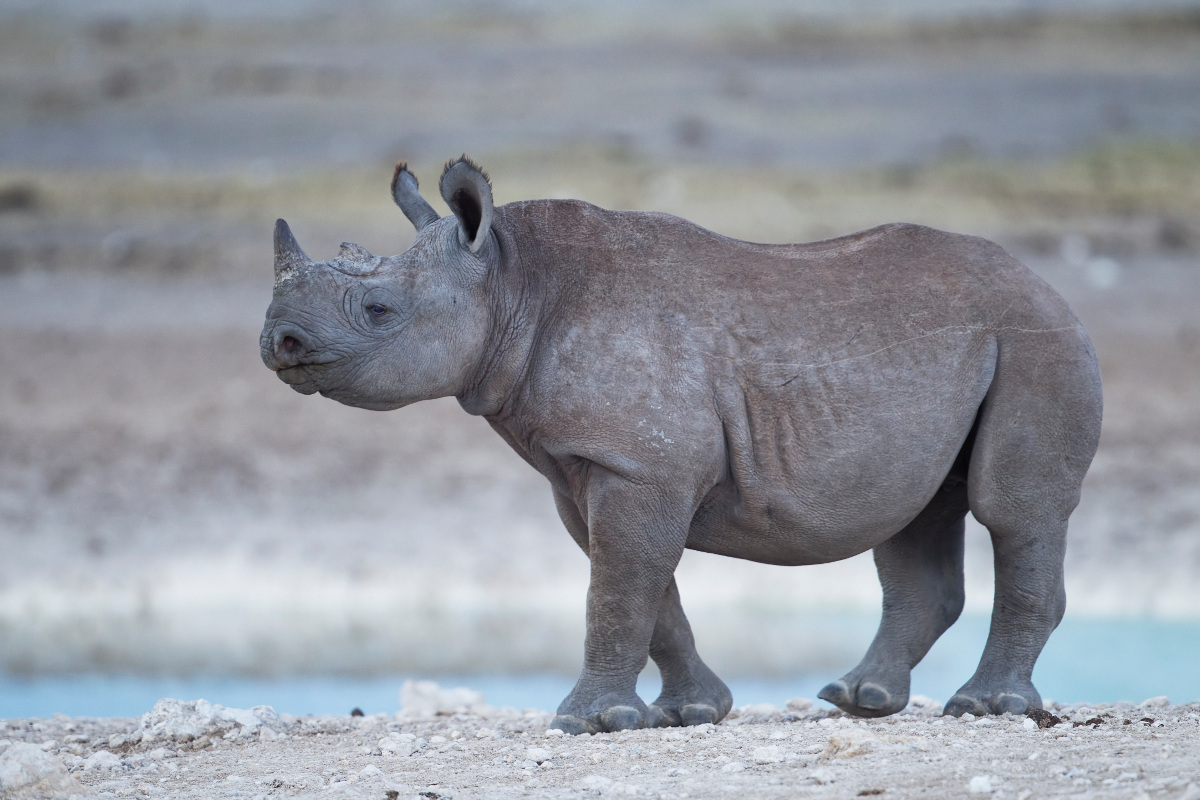 Rhino calf in Etosha (photo by Yathin S Krishnappa)