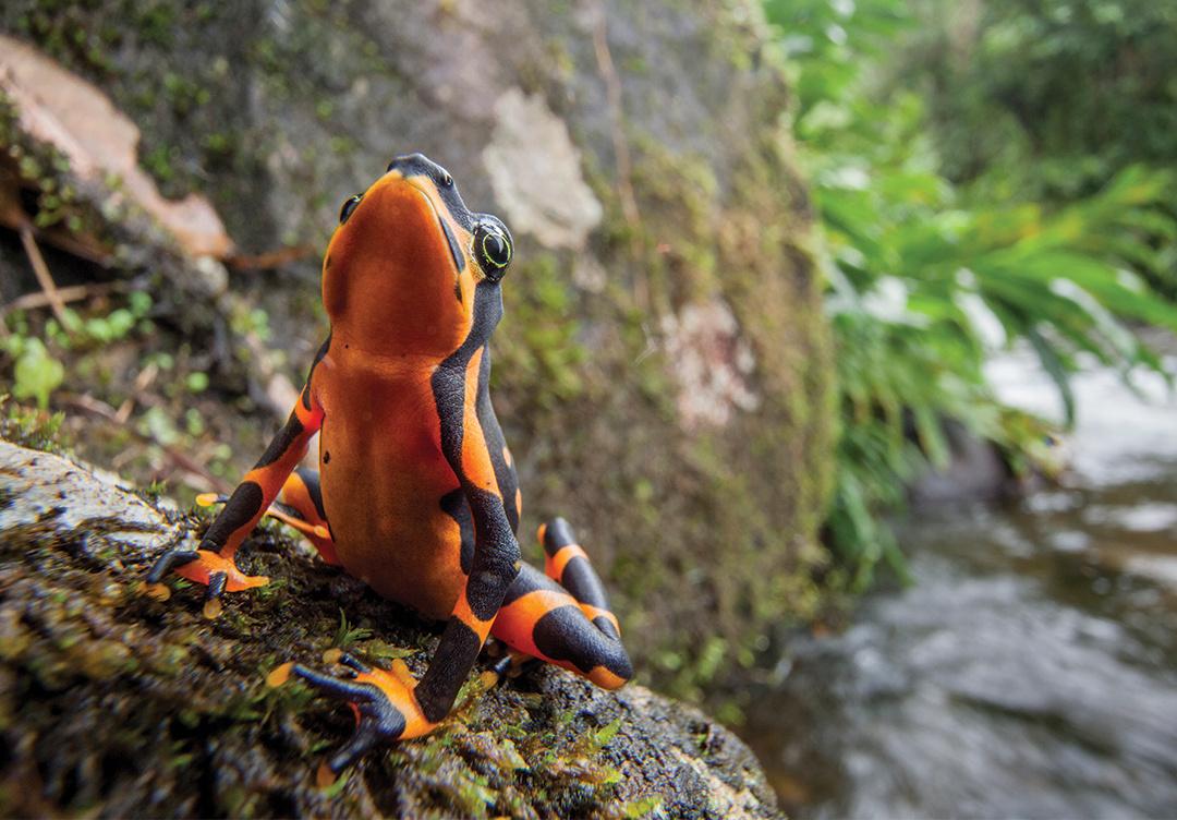Costa Rican Variable Harlequin Toad, Atelopus varius (photo by Robin Moore)