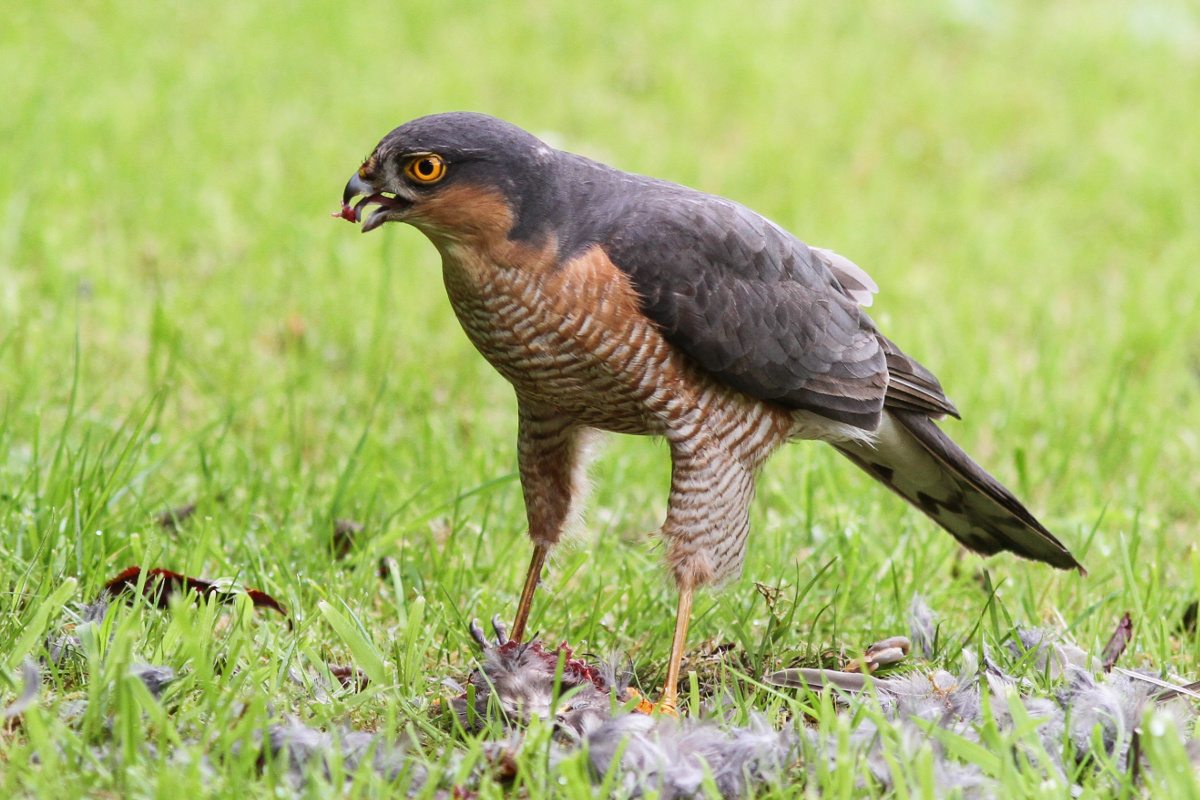 Eurasian Sparrowhawk Accipiter nisus on prey. (Photo by Peter Harris)