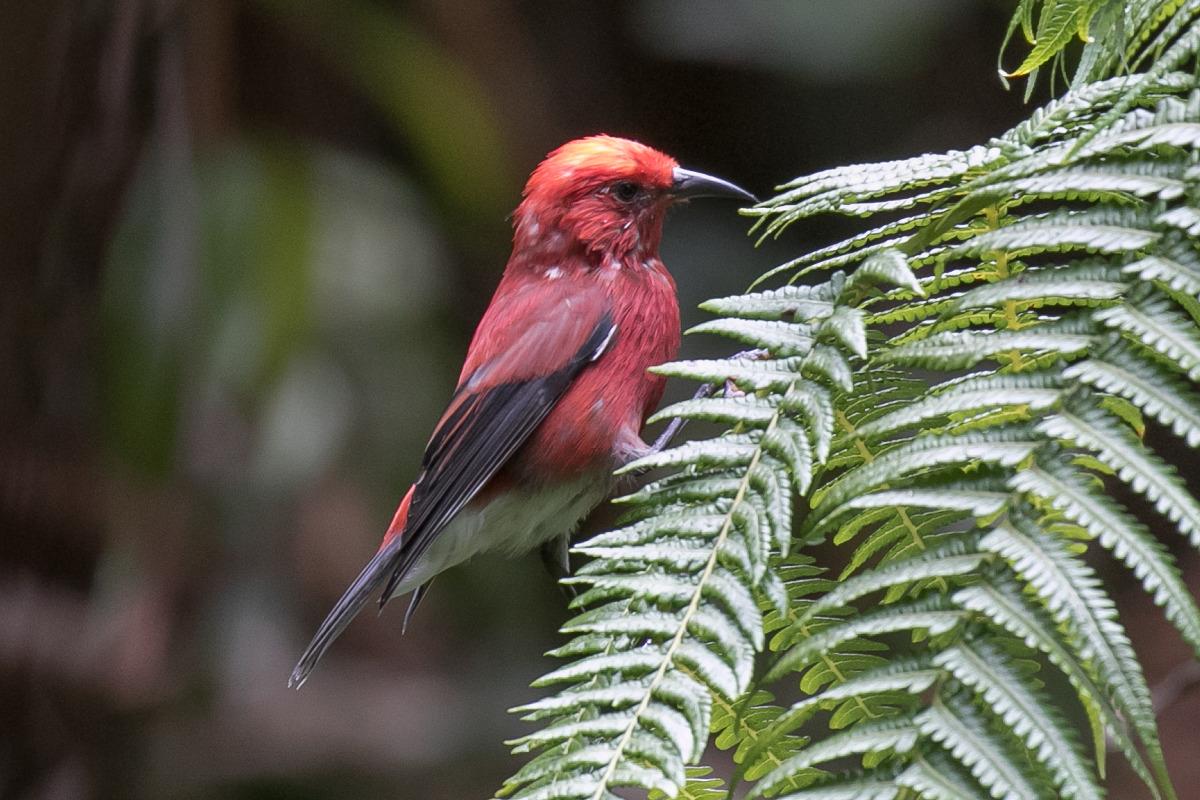 Le picchion cramoisi (Himatione sanguinea –en hawaïen ʻapapane) est une magnifique espèce endémique d'Hawaï, aujourd'hui menacée de disparition.