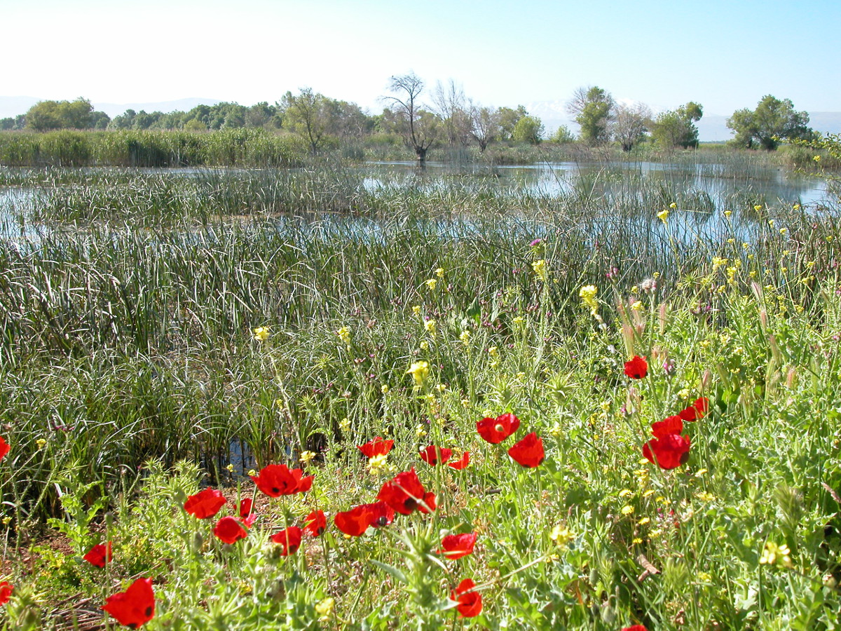 Poppies flowering at the Aammiq Wetland in springtime