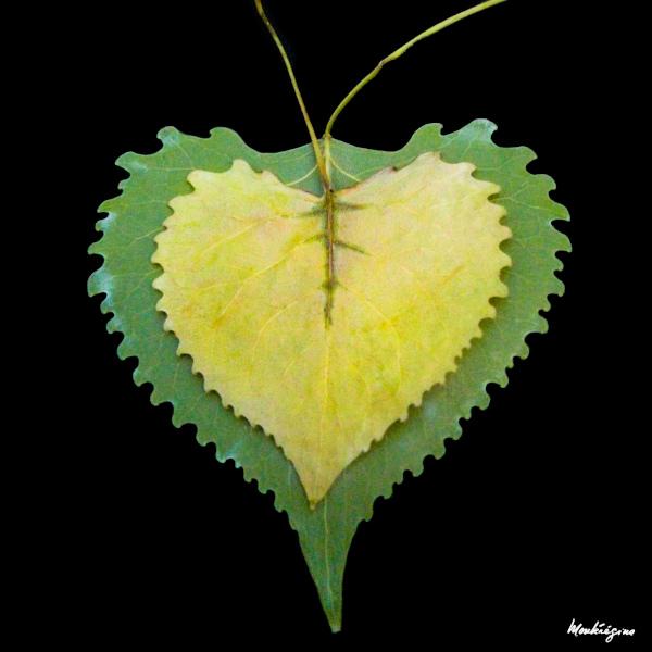 Poplar leaves, by Monterégina (CC BY-NC-SA)
