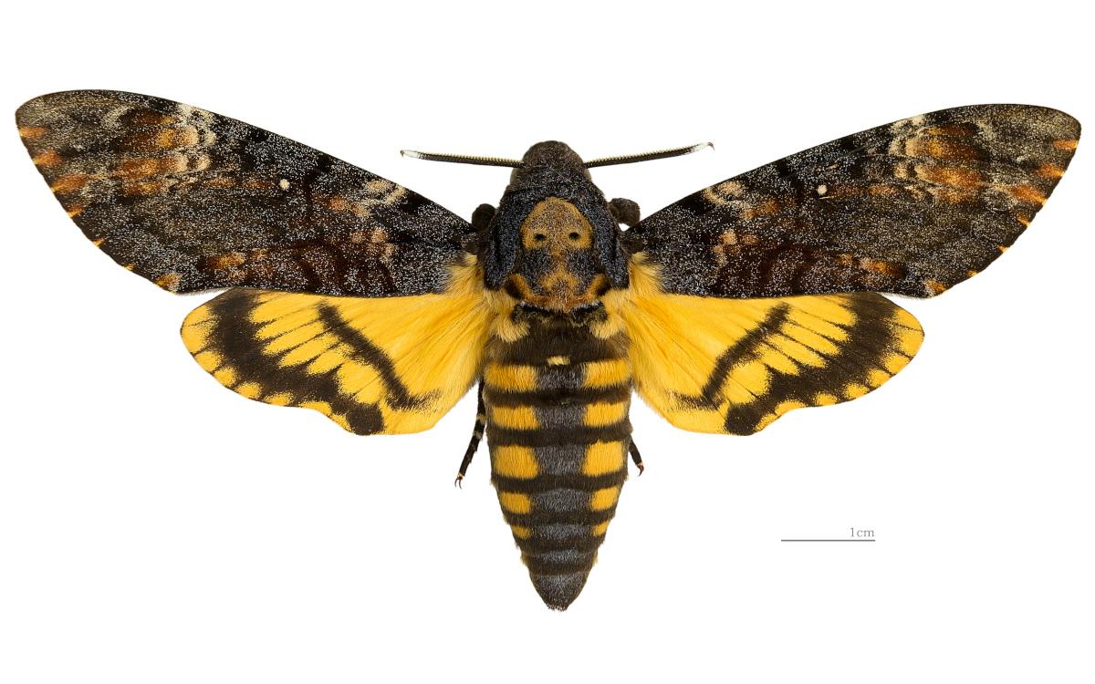 African Death's-head Hawkmoth (Acherontia atropos)